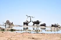 waterhole wildebeasts