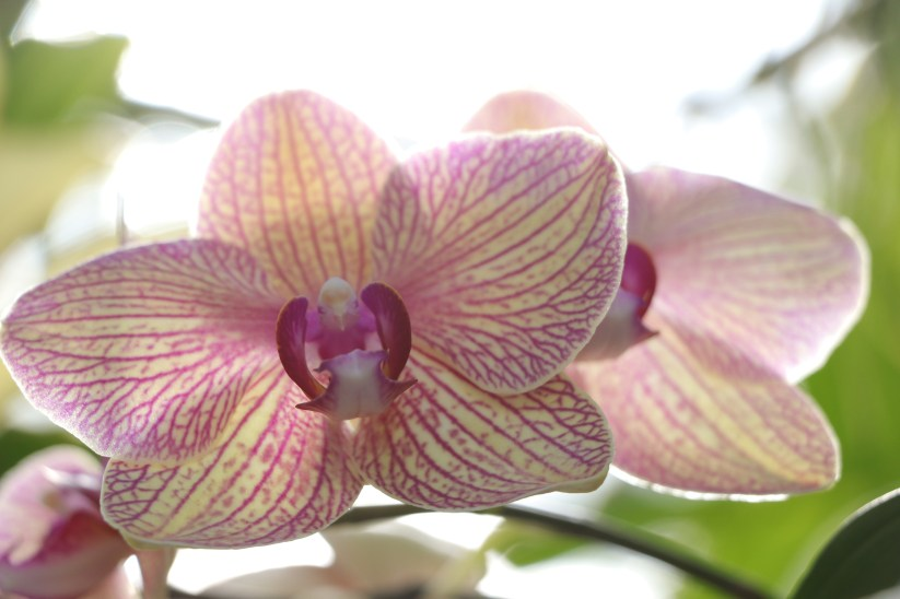 Pink and Yellow Orchid, Longwood Gardens, Orchid Extravaganza