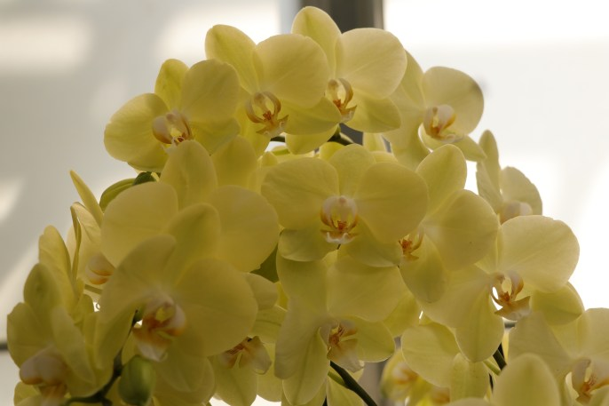 Yellow Orchids, Longwood Gardens, Orchid Extravaganza