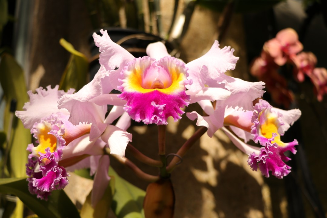 Three Orchids, Longwood Gardens, Orchid Extravaganza