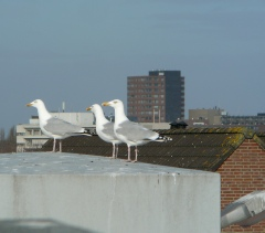 Granted measures against gulls nuisance (Photo: PCF Holland)