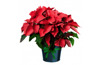poinsettia_in_pot