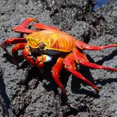 red sallyfoot crabs 02