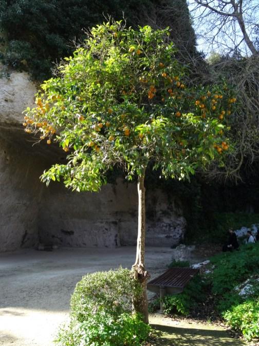 alter Orangenbaum