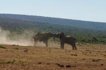 Kampf von Elefanten
