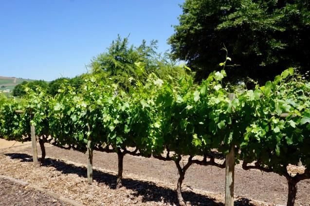 Weinanbau in Stellenbosch