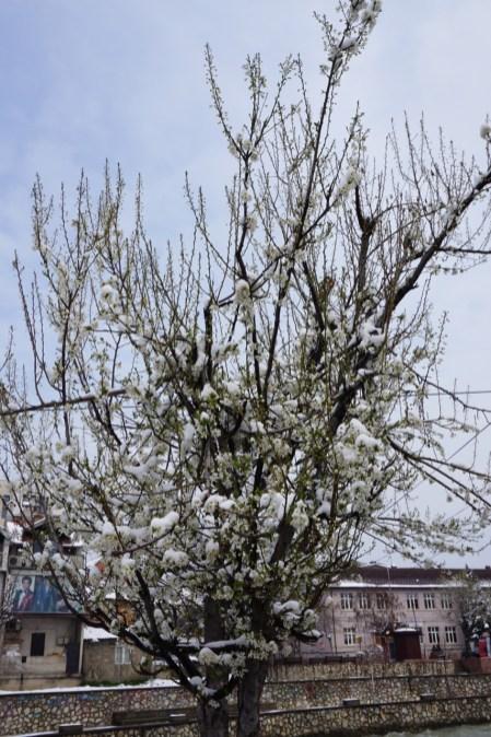 Schnee während der Kirschblüte