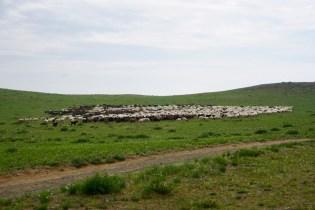 Herden in der Gobi