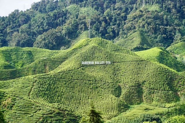 Teeanbau Cameron Highlands