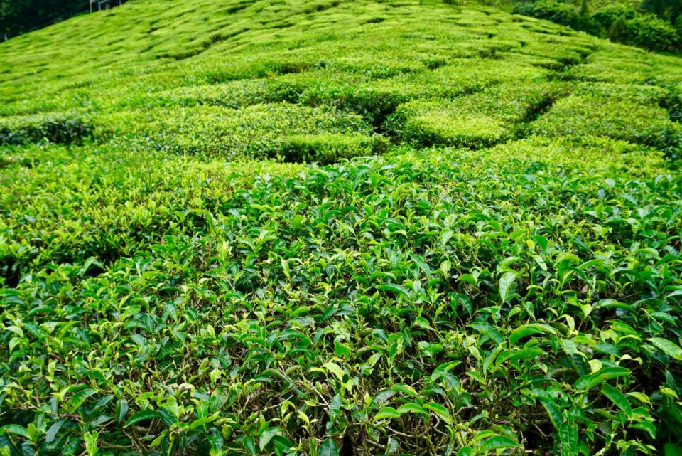 Teepflanzen in Malaysia