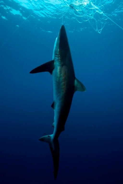 2013-04-05_cocos_illegal-fishing-traped-shark_foto-felipe1.jpg