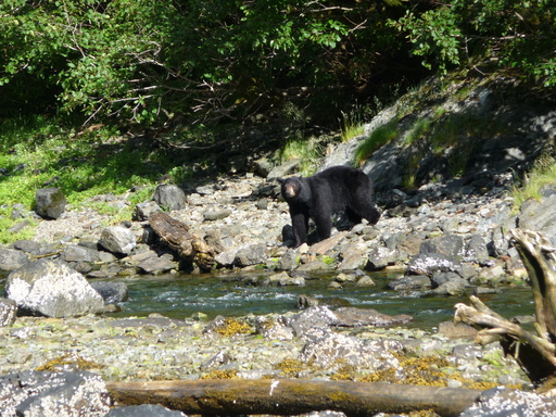 2014-07-09_usa_alaska_pws_snug-harbour_black-bear-looking.JPG