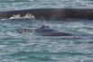 2014-08-16_usa_alaska_ip_frederick-sound_whale-calf.jpg