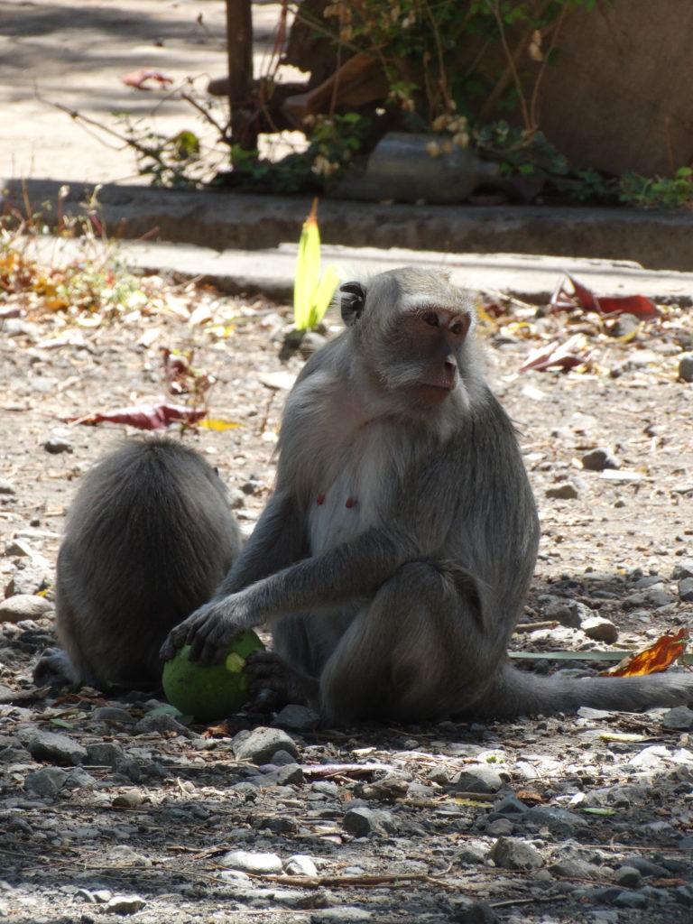 Singe mangeant une noix de coco