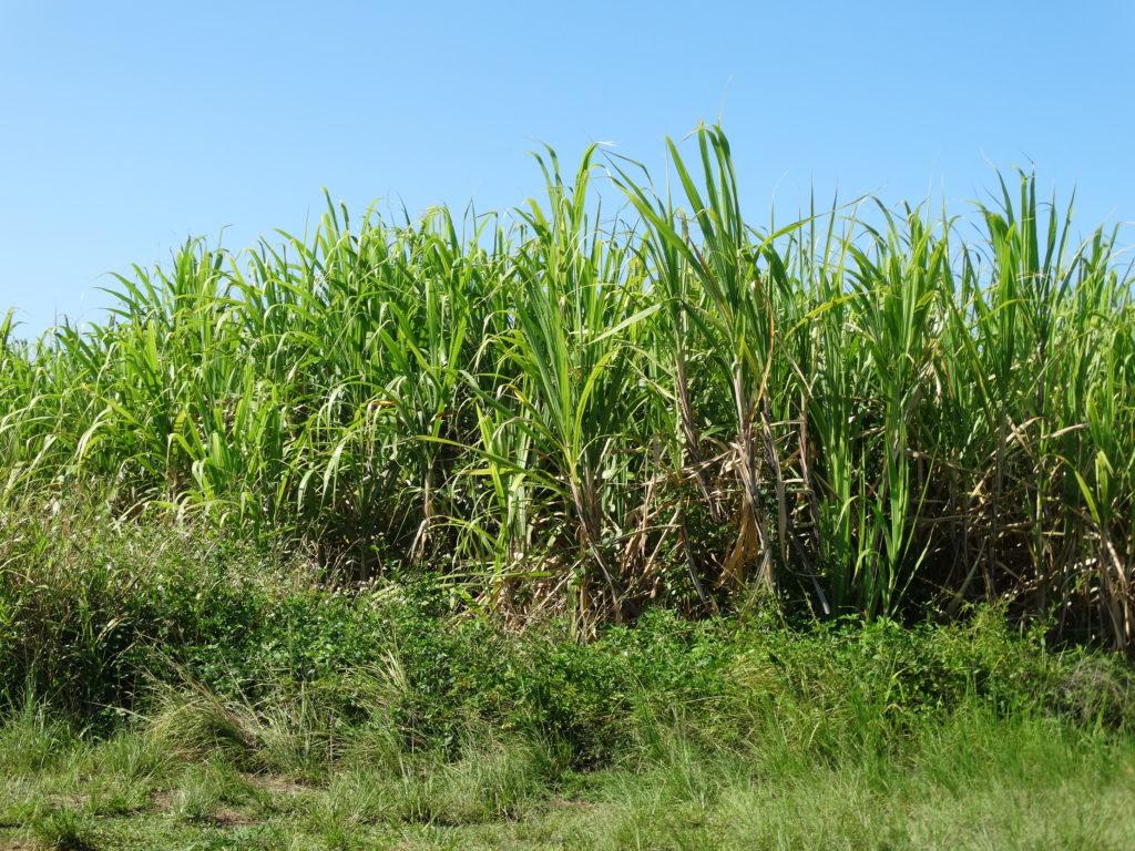 champ sucre de canne
