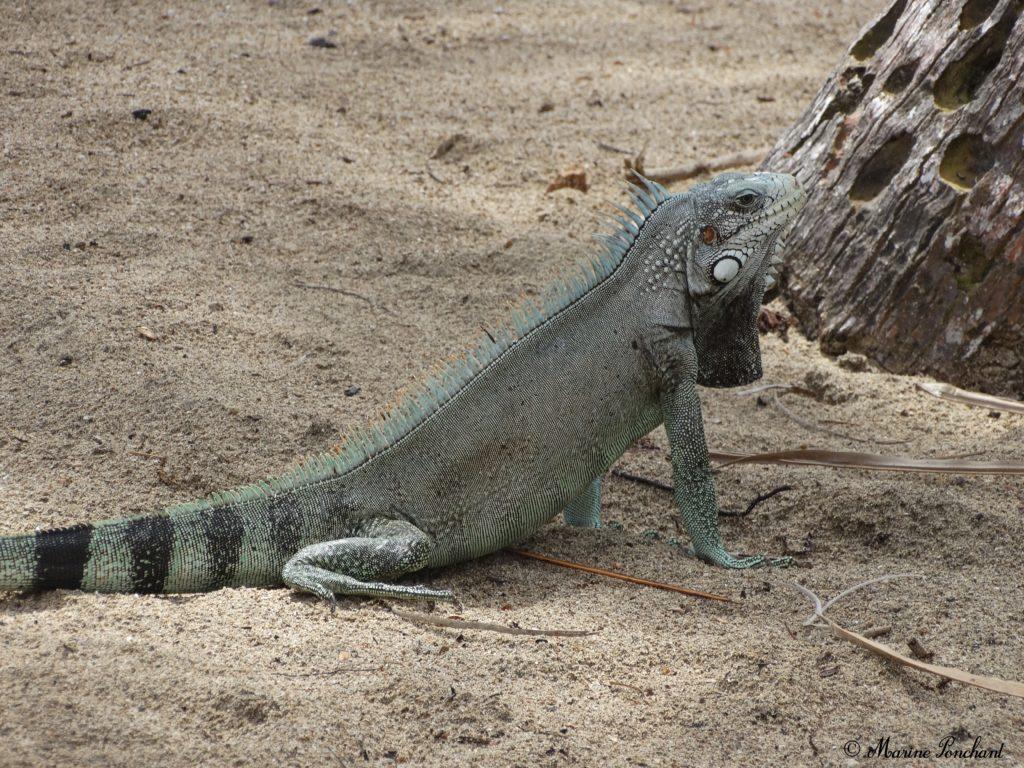 iguane sauvage guadeloupe