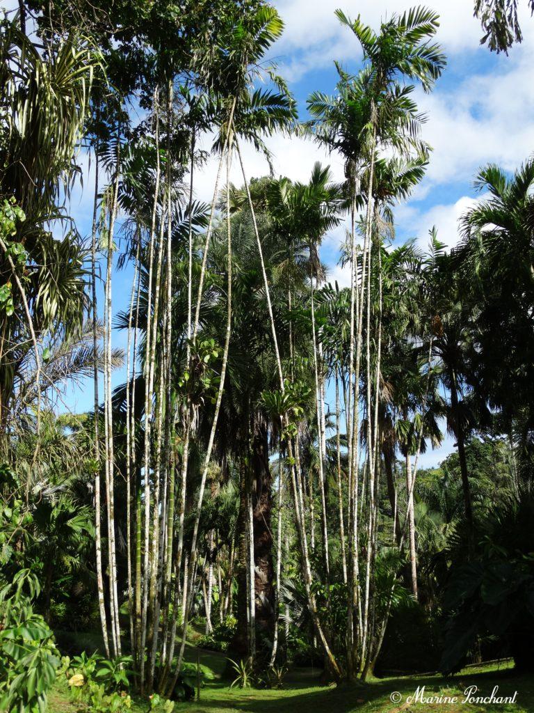 grands et longs palmiers