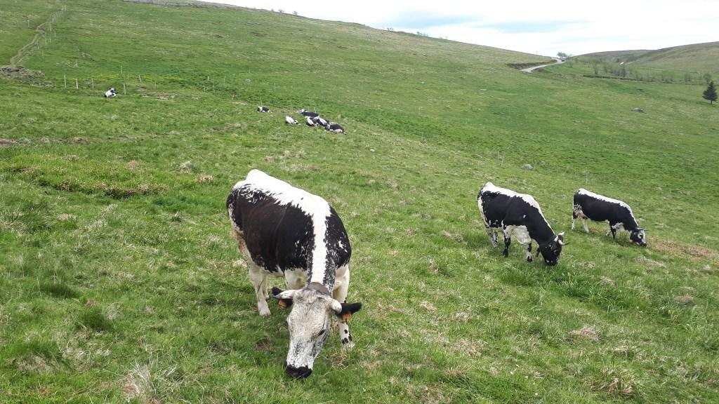 vaches des vosges