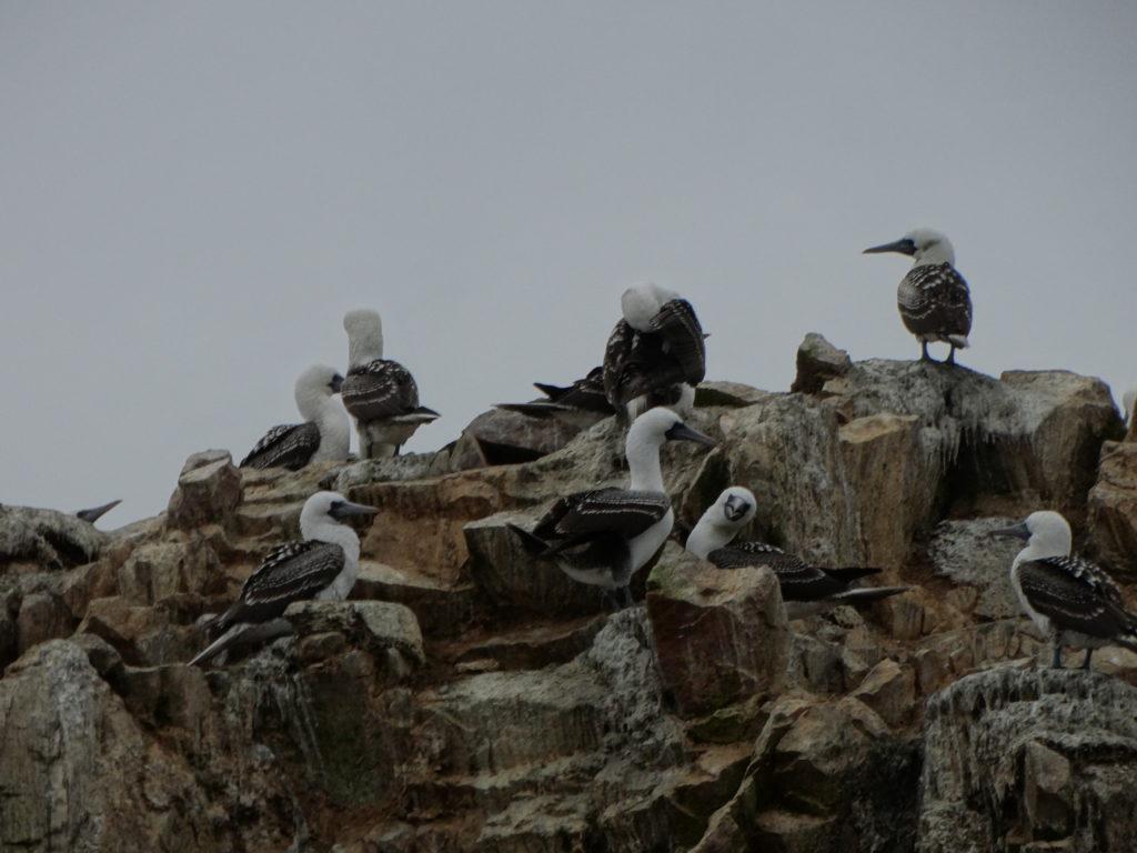 Colonie de cormorans Pérou