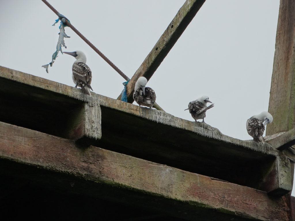 Oiseaux sur le ponton de l'ancienne embarcadère