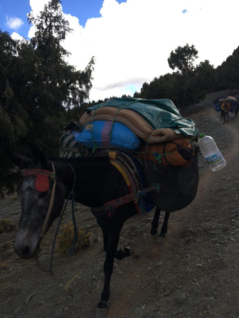 Mule pendant le trek