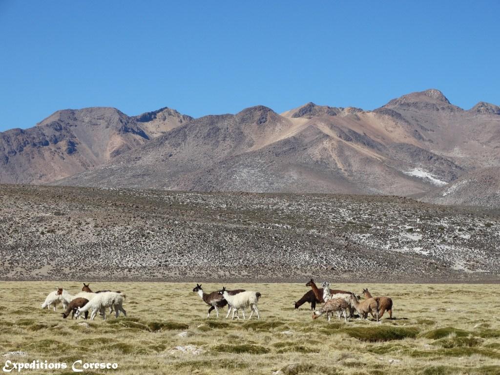 Lamas au milieu de la réserve Salinas y Aguada Blanca