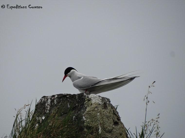 Oiseau marin des côtes islandaises
