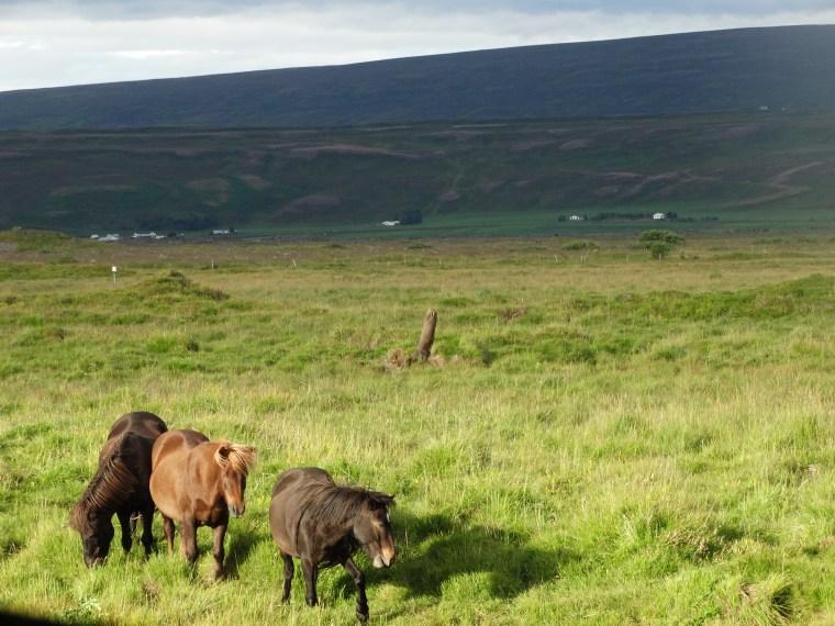 Chevaux dans les près islandais