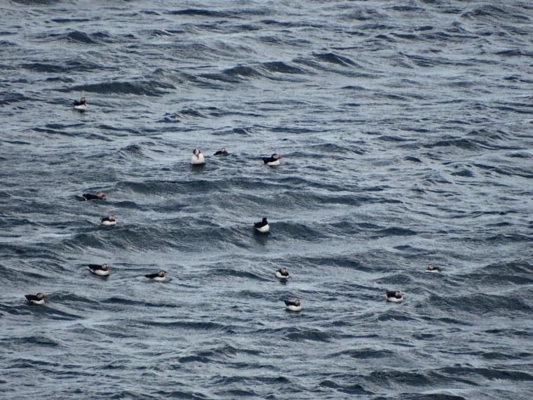 Macareux flottant sur l'océan arctique