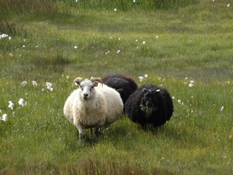 Brebis et ses petits moutons