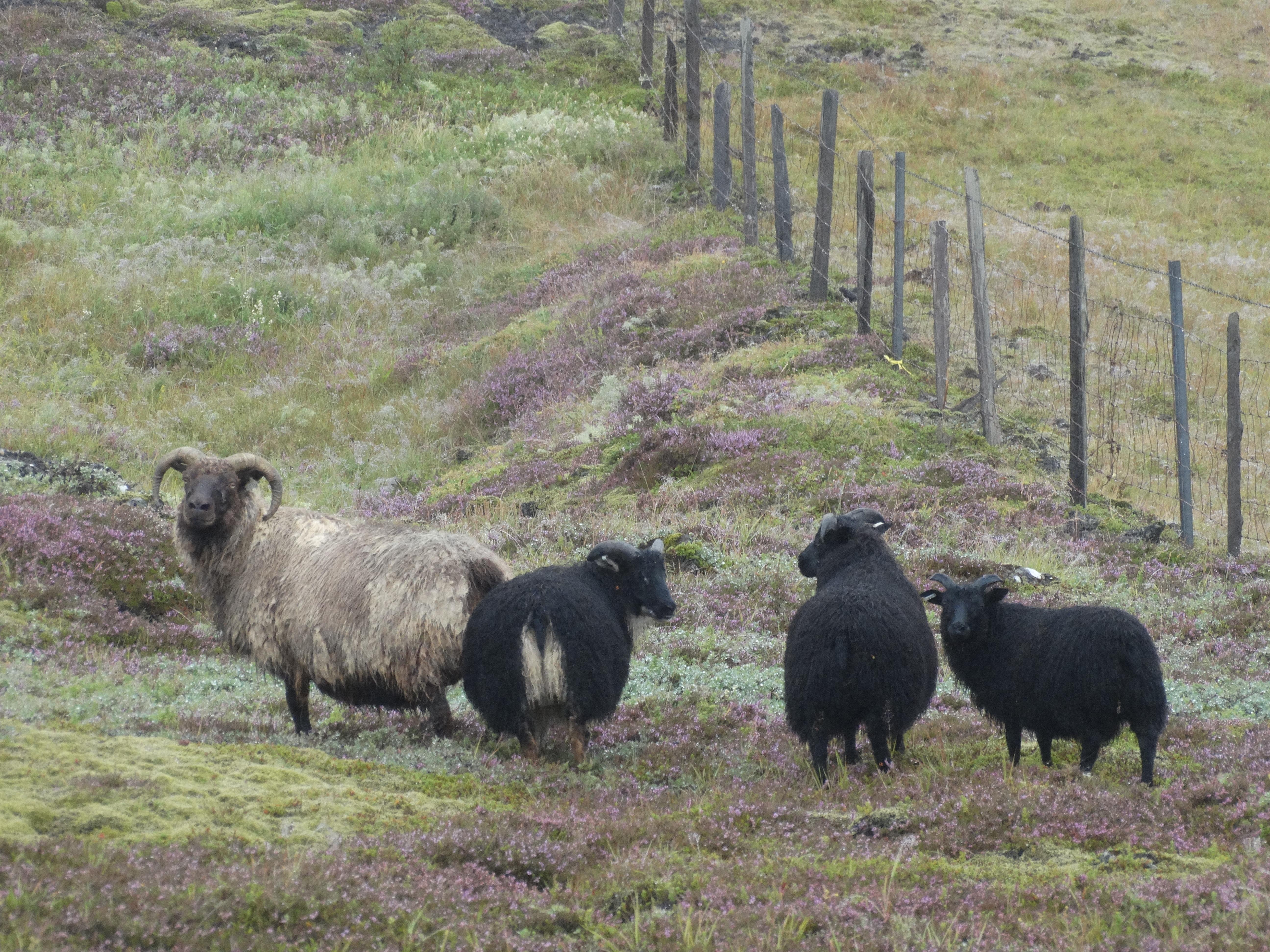 Les animaux d'élevages d'Islande