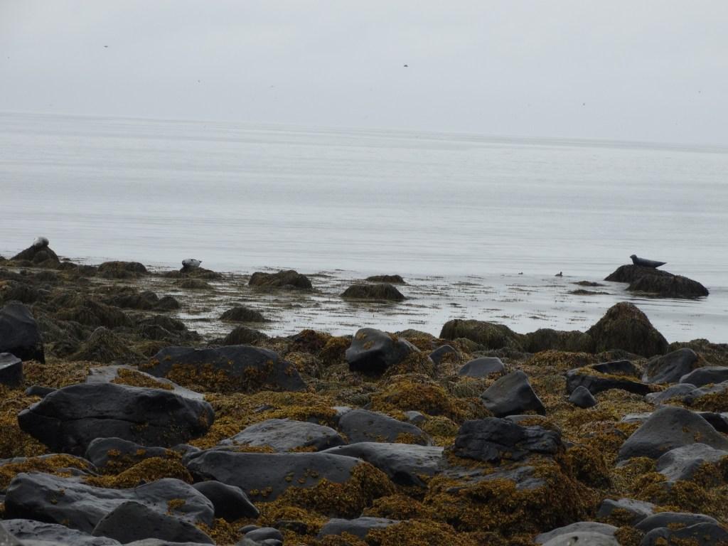 Les phoques sur les côtes islandaises