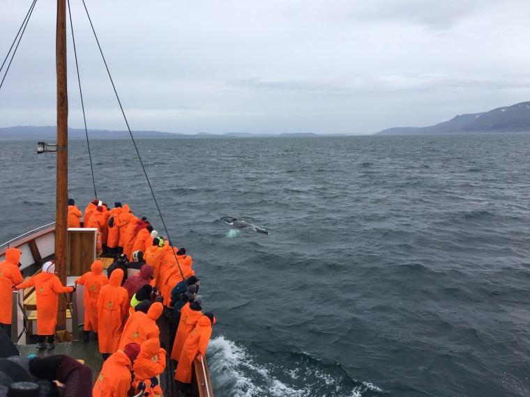Sortie d'une baleine à bosse à la surface