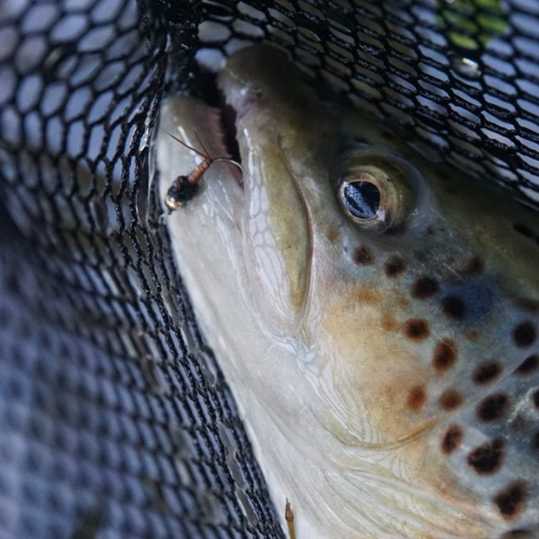 Brown trout caught on a Copper John