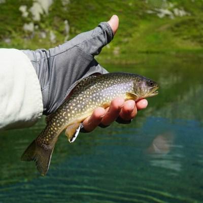 Alpine brook trout