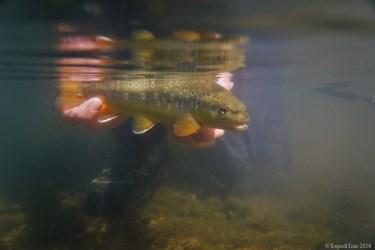 Underwater trout