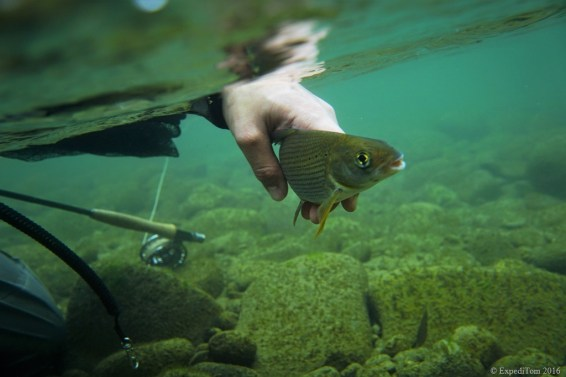 underwater grayling