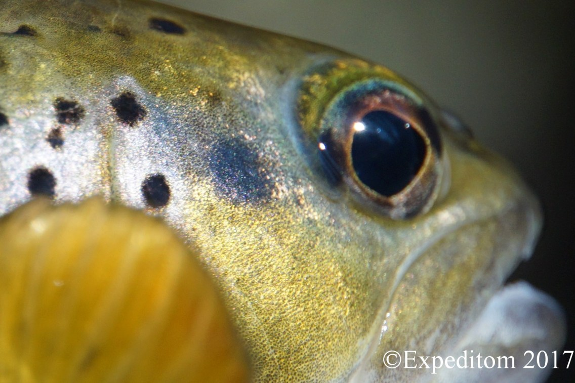 Blue eyed trout