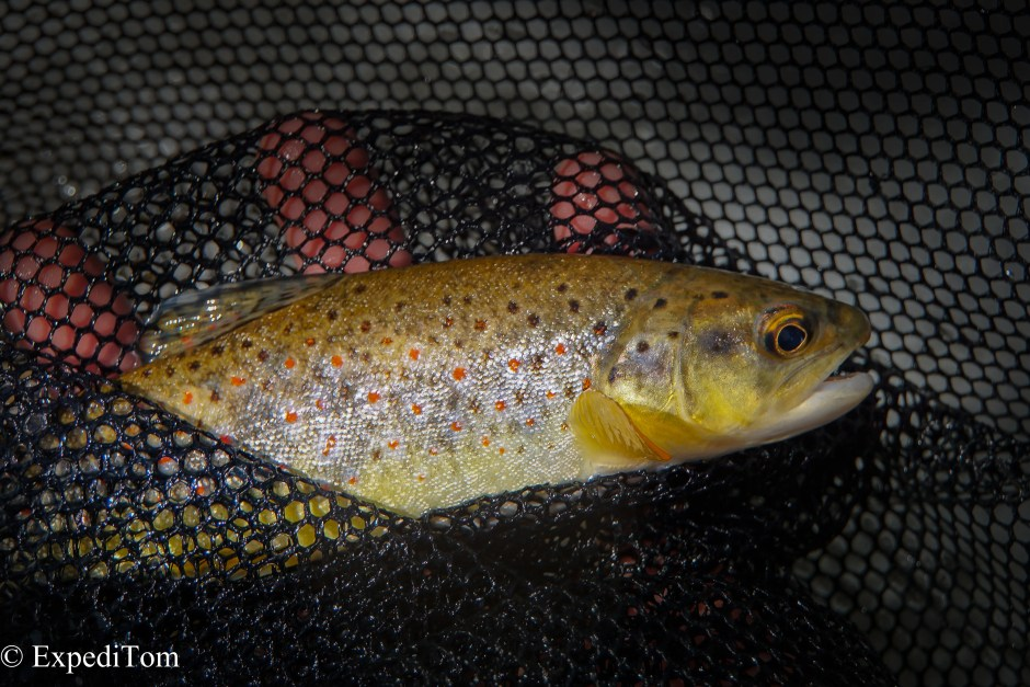Interbreeding between stocked and wild trout in Switzerland