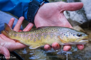 Brown trout caught while fly fishing