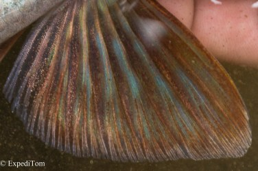 Pectoral fin of a grayling