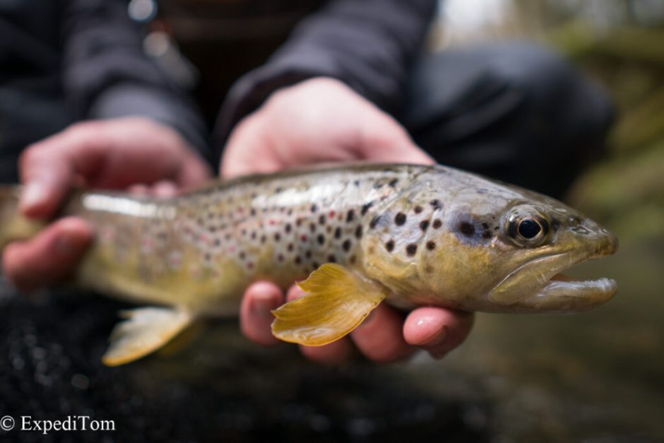 Brown trout in Switzerland are not only 1 species
