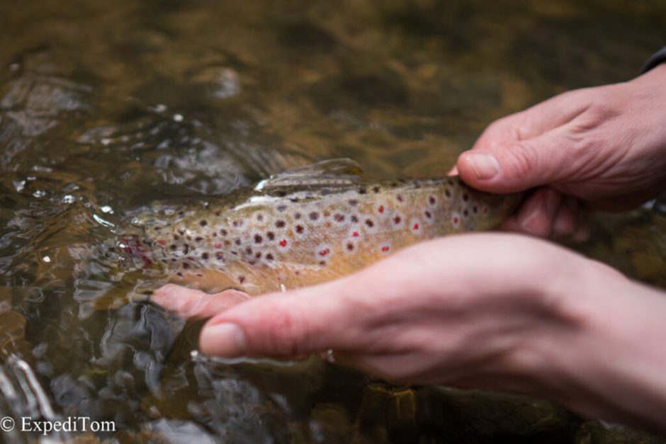 Release of a trout to sustain a healthy population