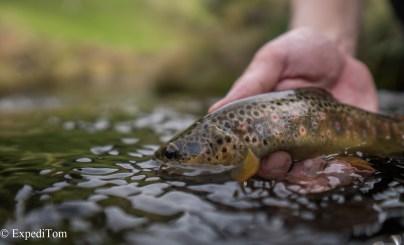 Wonderful brown trout