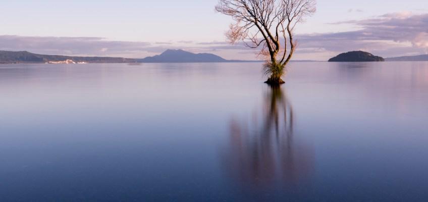 That Taupo Tree