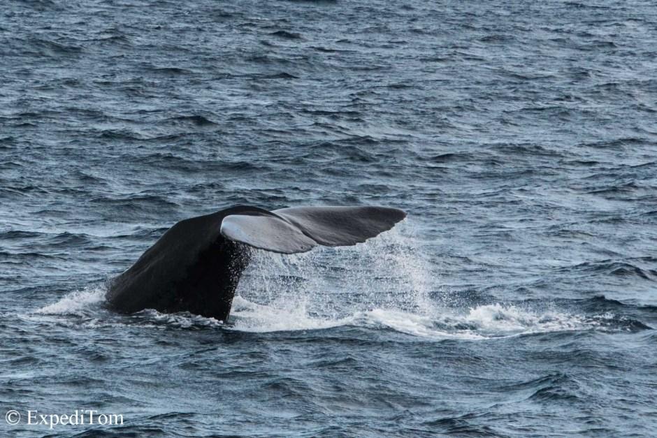 Sperm whale fin Kaikoura