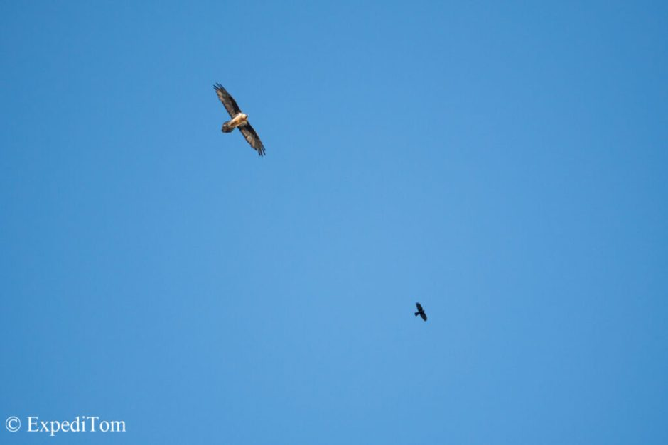 Mind-blowing size difference between an alpine chough and a bearded vulture