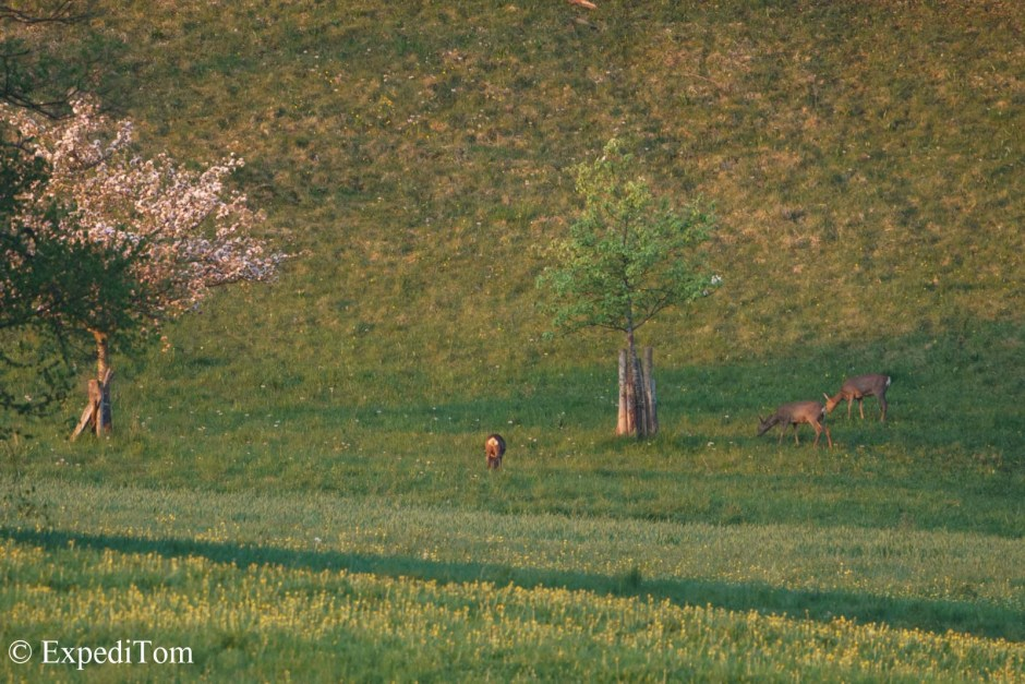 Roe deer grazing on a meadow in the Jura mountains