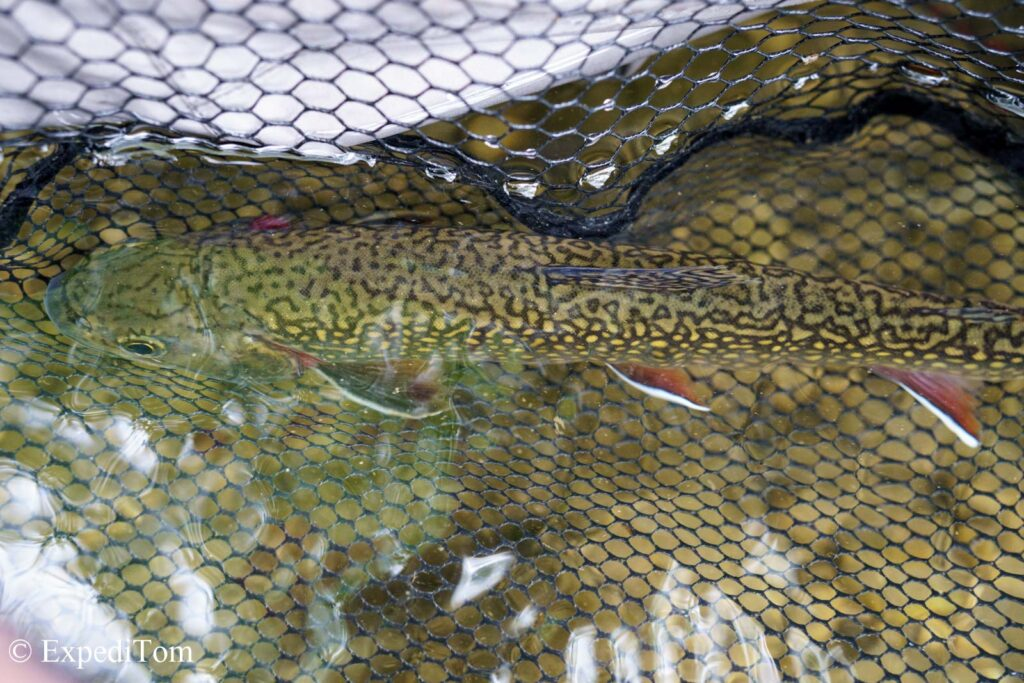 Brook trout feature a distinctive marbled pattern (called vermiculation) across the flanks and back