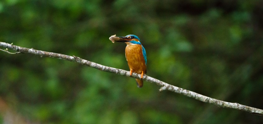 Trout and Kingfisher – Fly fishing with Jonas